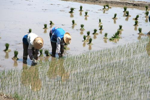 Paysans du yunnan repiquant du riz à 2000 m d'altitude